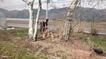 4-28-14-白樺の伐採.jpg