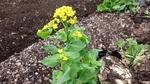 4-28-14-菜の花2-1.jpg