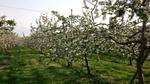 5-19-14-りんごの満開.jpg
