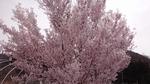 4-28-14-桜-1.jpg