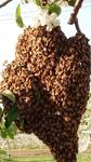 5-20-14-蜜蜂.jpg
