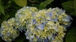 7-4-14-紫陽花.jpg