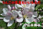 りんごの花見.jpg